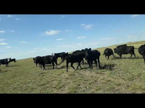 Afiche 150 Vacas con garantía de preñez - 380kg - Doblas