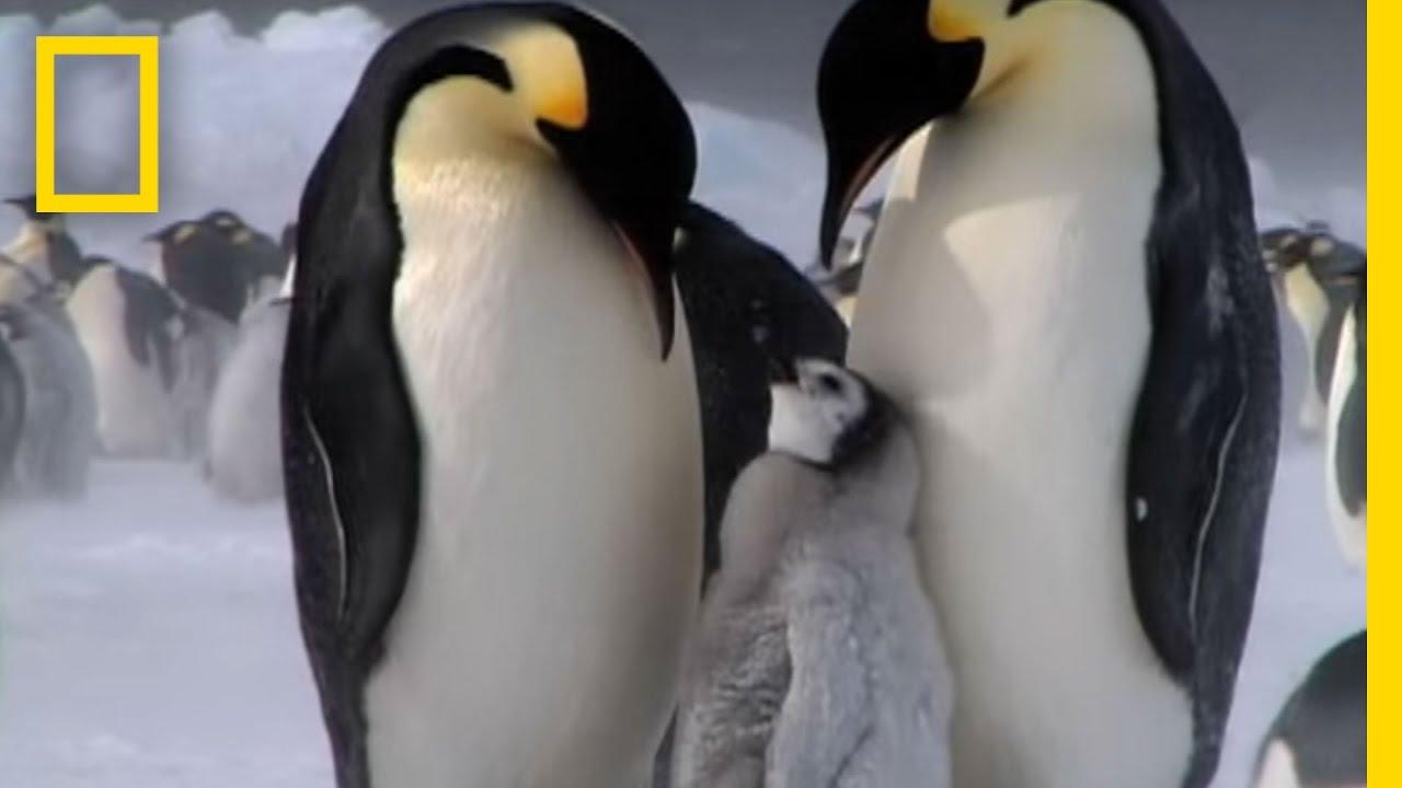 Penguin Parent Patrol | National Geographic thumbnail