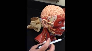 anatomy of facial nerves