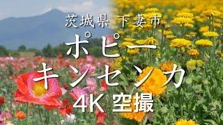 【絶景茨城】ポピー/キンセンカ[4K]茨城県下妻市|VISIT IBARAKI, JAPAN