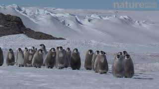 Emperor penguin chicks walking to the sea, glacier in background, Adelie Land, Antarctica, January.