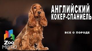 Английский кокер-спаниель - Все о породе собаки | Собака породы английский кокер-спаниель