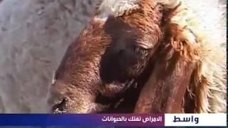 بالفيديو في واسط تحذير من تناول الأجبان بسبب مرض البروسيلا