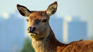 Young Fawn Hastily Tagged by Game Keeper | London's Wild Side | BBC Earth