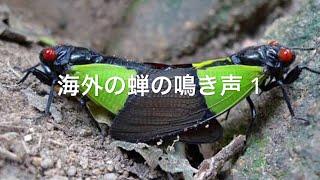 海外の蝉の鳴き声1