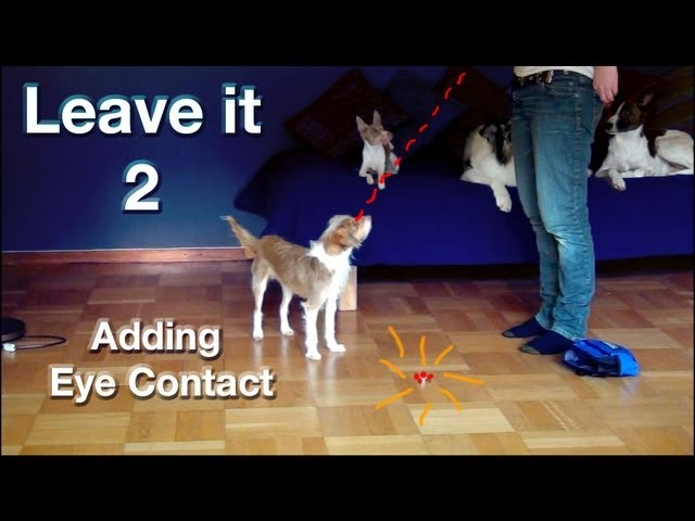 Leave it part 2- adding eye contact!
