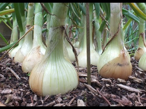 , title : 'HGV How to grow Onions. My best ever Big Onion Harvest. Organic onions grown in a raised bed.