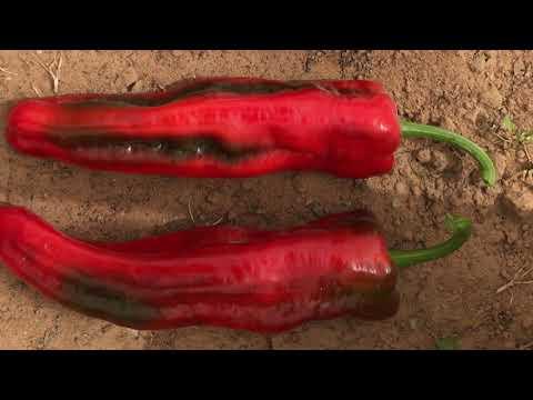 , title : 'Sweet Pepper Ramiro F1فلفل حلو راميرو هجين
