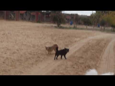 Amelia Oct video