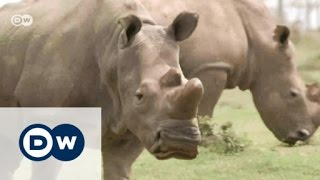 Can IVF save the last white rhinos? | DW English