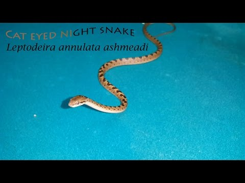 The Cat-eyed Snake (Leptodeira Annulata Ashmeadi)