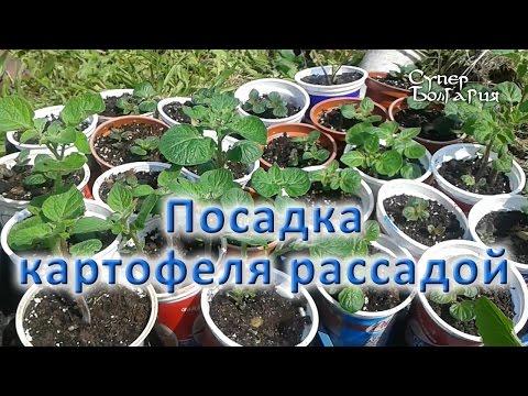 Посадка картофеля рассадой. Природное земледелие