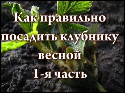 Как правильно посадить клубнику весной 1 я часть