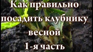 Как правильно посадить клубнику весной видео