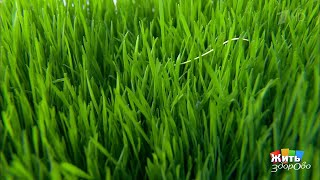 Чудо-трава. Витграсс. Жить здорово!  21.05.2019