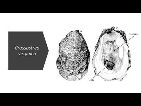 Characterization of Small Regulatory RNAs in Crassostrea virginica