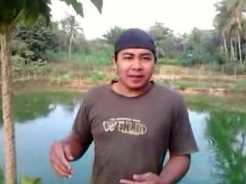 Video Cara Pemberian Pakan Ikan Gurameh