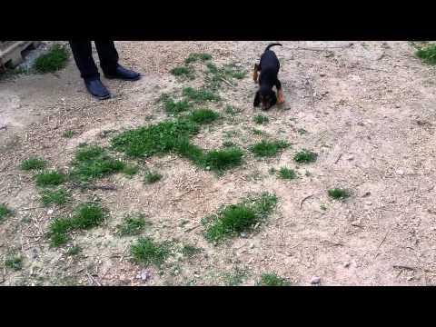 segugi.gr Ζακ   Ιταλικός Ιχνηλάτης, (σεγκούτσι). 2,5 μηνών στο λαγοπόδαρο βαράει ντορό