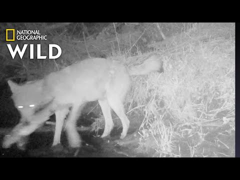 Wolves Catching and Eating Fish: First-Ever Video | Nat Geo Wild