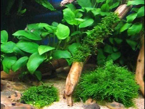My Corydoras Tank