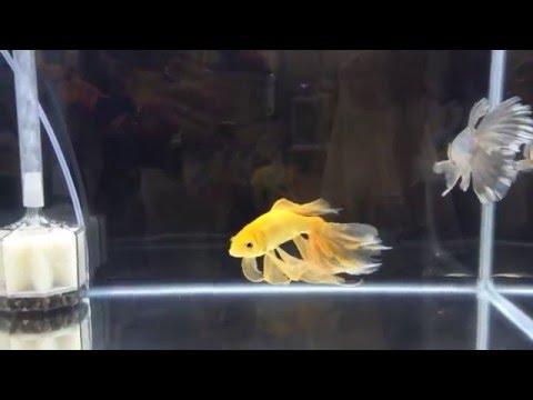 【金魚】第34回 日本観賞魚フェア 鉄魚 寿恵廣錦