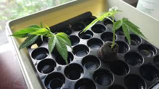 my second cannabis clone