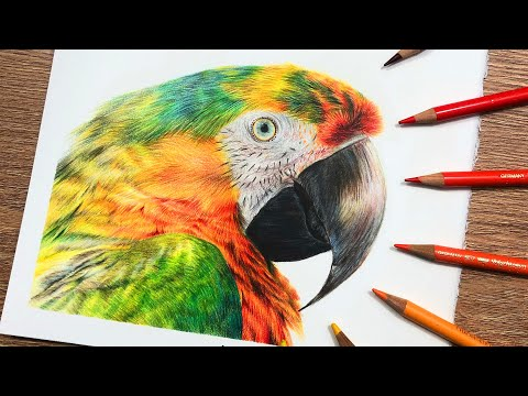 how to draw macaw feathers in colored pencil drawing tutorial by amie howard art