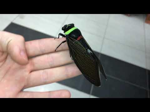 Today We Learned: Tacua speciosa AKA The Giant Colorful Cicada