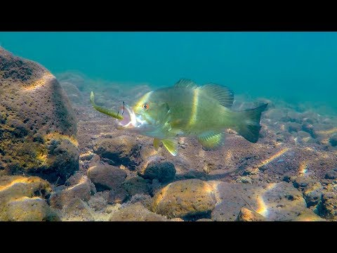 Underwater Bass Fishing Footage | Drop Shotting Crystal Clear Water!