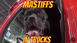 WAR & PEACE & TRUCKING? Cane Corso Mastiffs in a Semi