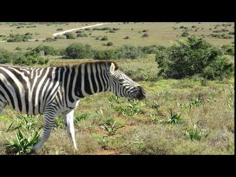 Vastrap Zebra