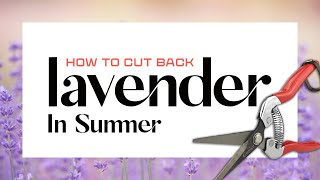 Deadheading Once Blooming Lavender In Late Summer - Do It Before It's Too Late!