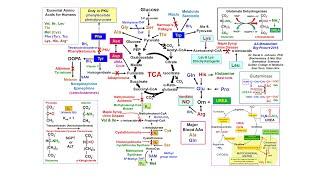 Amino Acid Metabolism Big Picture (see Newer 2018 Version)