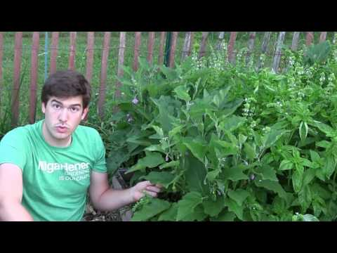 , title : 'How to Grow Eggplants - Complete Growing Guide