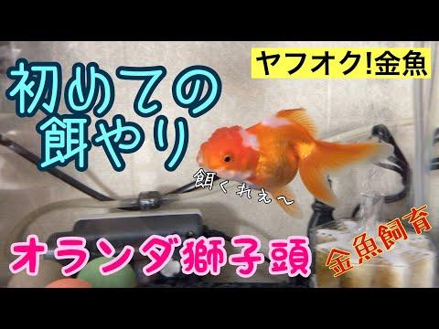金魚飼育 ヤフオク金魚 初めての餌やり オランダ獅子頭
