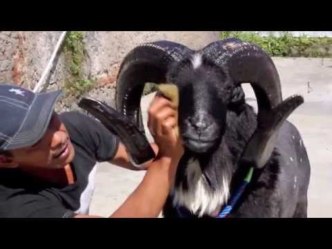 Video Ternak Domba Garut Dengan Pakan Limbah Kulit Kacang Kedelai