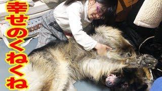 幸せ過ぎてクネクネします、シェパード犬マックと孫娘The Dog Is Being Very Playful.