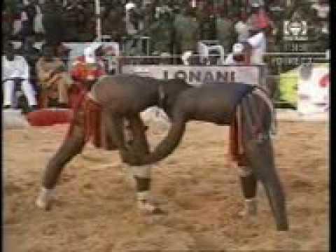 Niger Traditional Wrestling: Kokowa tsakanin Dan Tambai Tahoua da Yakouba Adamou Niamey