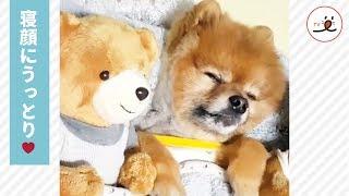 ぬいぐるみのような可愛さ💕 クマさんと一緒に寝るワンコ🐕💖 【PECO TV】   Kholo.pk