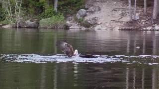 Vancouver Bald Eagle slams duck quiet