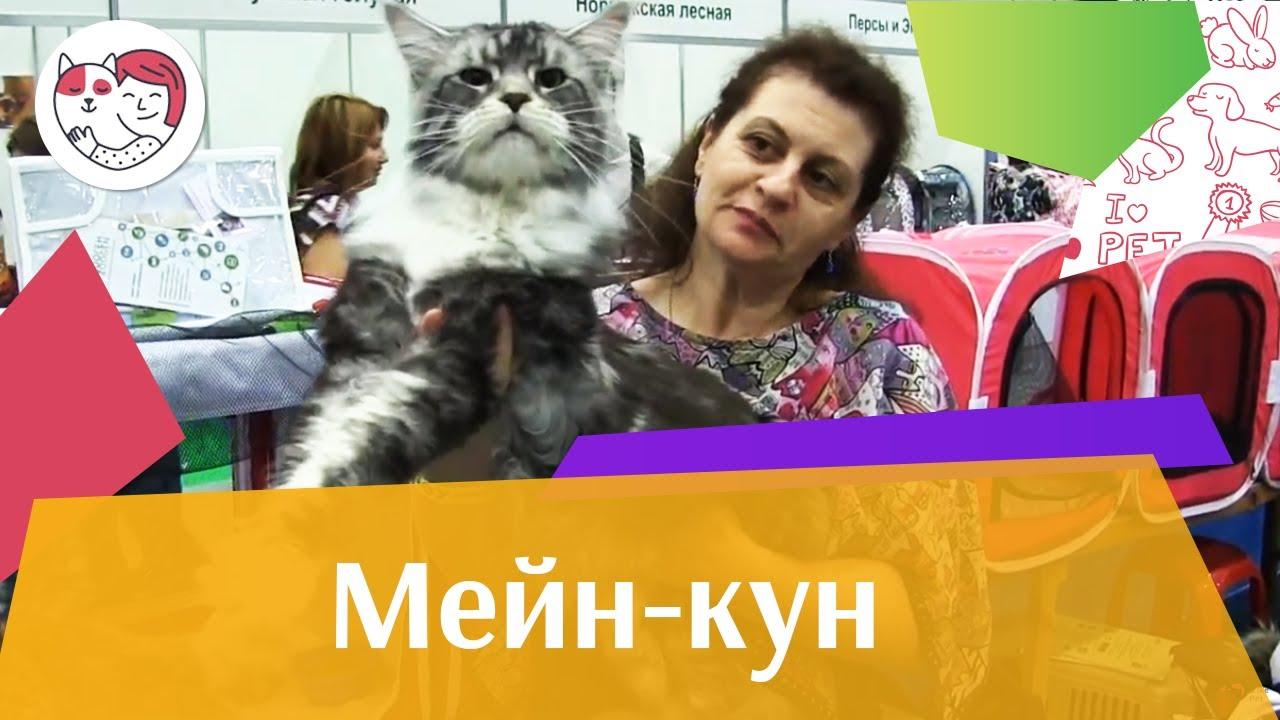 КОШКИ МЕЙН  КУН ЗООШОУ 2016 НА ilikepet