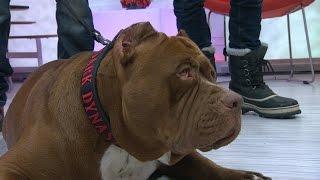 "Pit Bull Called ""Hulk,"" 175-Pound Dog Walks NYC   Good Morning America   ABC News"