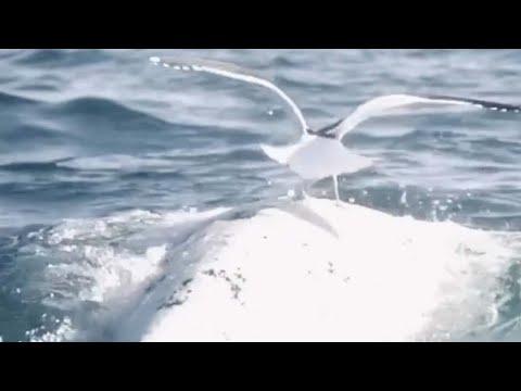 בלב הים: שחף נוחת על גב הלווייתן • צפו