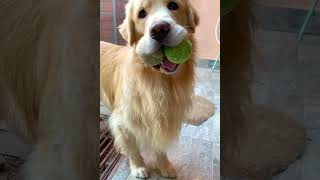 Silly Doggo Catches Two Balls #shorts