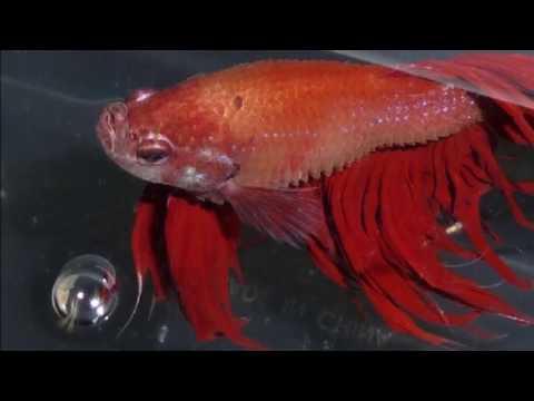 Video Kenali 9 Jenis Penyakit Ikan Cupang Dan Cara Mengobatinya