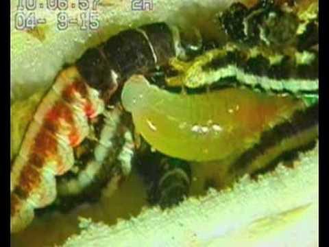 Pagsusuri sa enterobiosis anumang parasito
