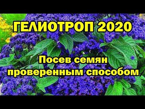 ГЕЛИОТРОП 2020. Посев семян проверенным способом.
