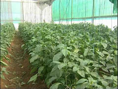 , title : 'Capsicum Cultivation in Green House, English