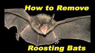 ✔How to Remove Roosting Bats 🦇🦇🦇 from Outside your House