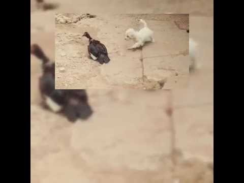 Dog And Duck Mating With The (Third World Prince)